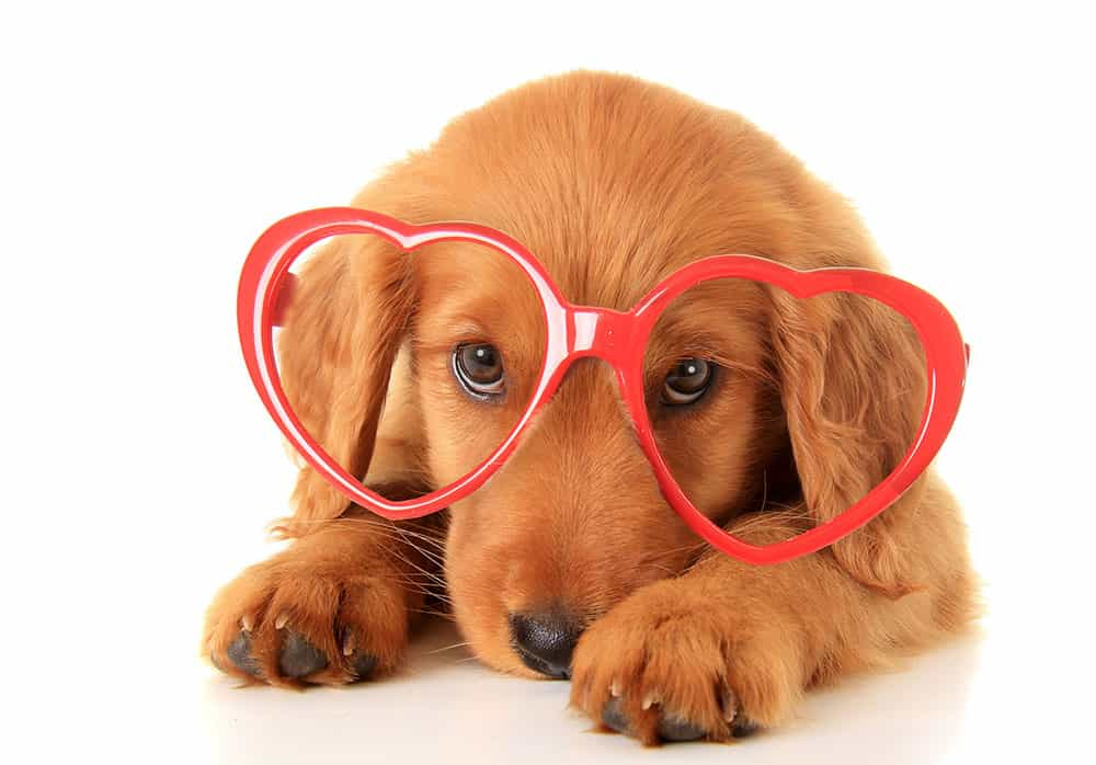 canine heart disease overlooked