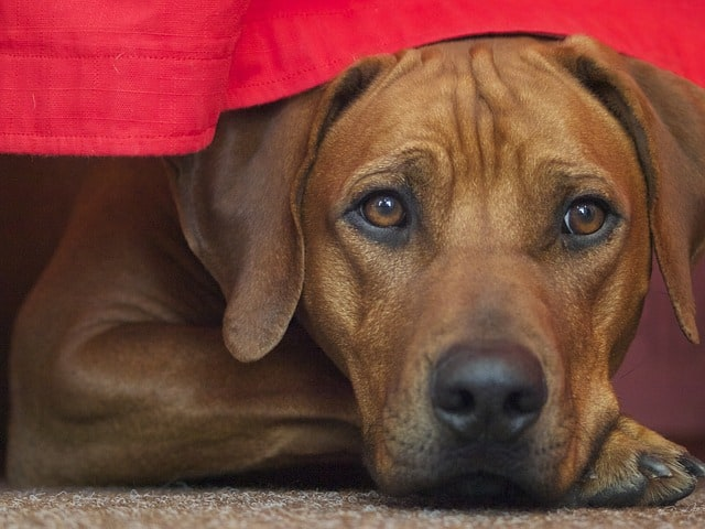 ridgebacks strong shy sensitive types