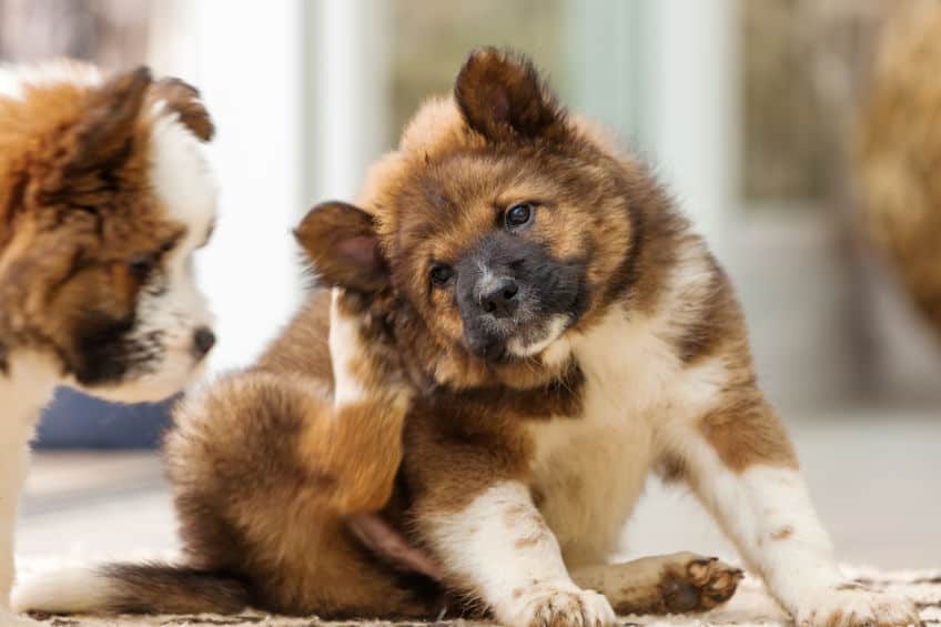 Understanding Dog Allergies by Dr. Joel Murphy