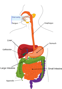 voyage down the digestive tract - vanquish holiday digestive issues